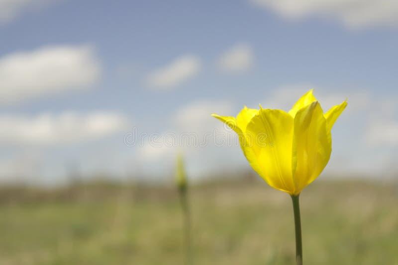 Gul tulpan på våren royaltyfria bilder