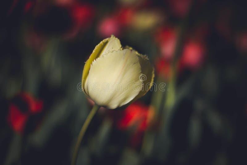 Gul tulpan p? m?rk bakgrund close upp Delikat gul tulpan på en bakgrund av blommor Blommor p? en m?rk bakgrund royaltyfri fotografi