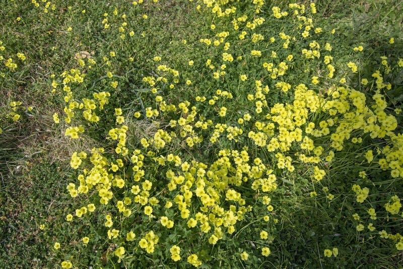 Gul växt av släktet TrifoliumblommaOxalis stricta arkivfoto