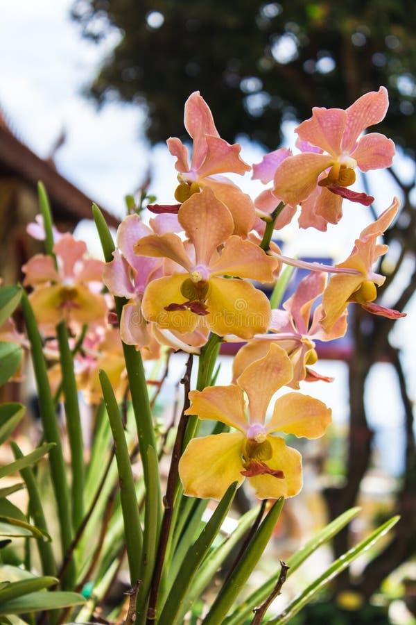 Gul vanda orkidé arkivfoton