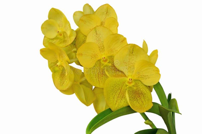 Gul Vanda orkidé på vit bakgrund arkivbilder