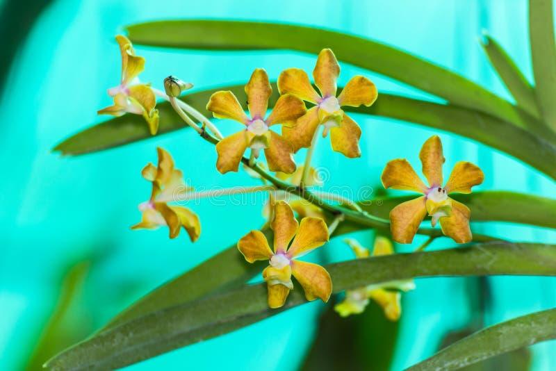 Gul vanda orkidéblomma arkivfoton