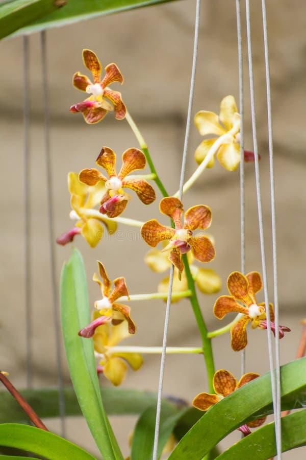 Gul vanda orkidéblomma fotografering för bildbyråer