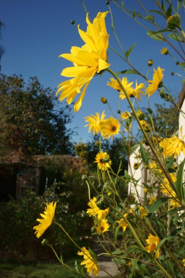 Gul vegetation för blommaträdgården utgjuter solljus för blå himmel royaltyfri foto
