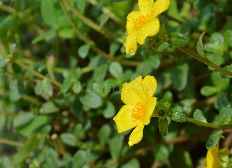 Gul vis manros som blommar i trädgård arkivbilder