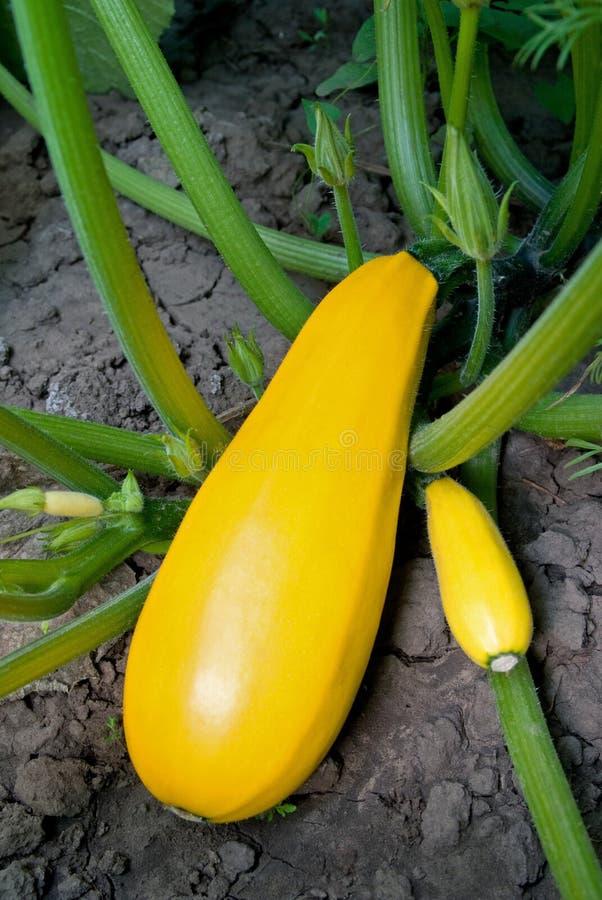 gul zucchini arkivfoto