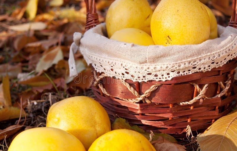 Gula äpplen i korgen Färgrika höstfärger i nedgången fotografering för bildbyråer