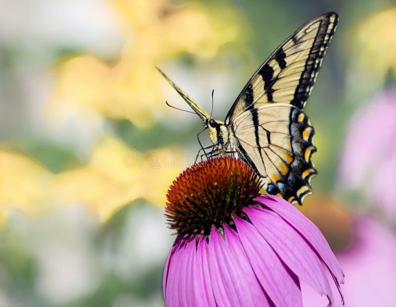 Gula östliga Tiger Swallowtail Butterfly på kotteblomman arkivfoton
