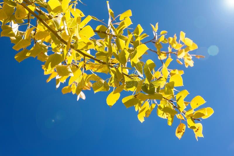 Gula aspsidor gjorde ljusare på bakgrunden för blå himmel royaltyfri fotografi