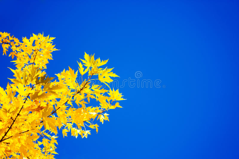 Gula Autumn Leaves på bakgrunden för blå himmel arkivbilder