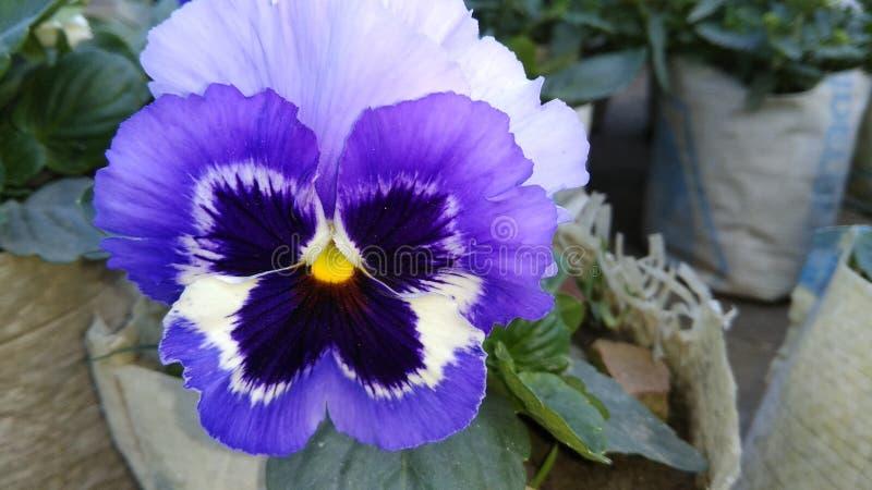 Gula blåa lilor och vit färgar den blandade fjärilsblomman royaltyfri fotografi