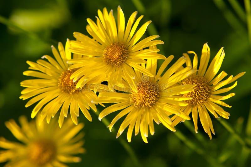 Gula blommor royaltyfri fotografi