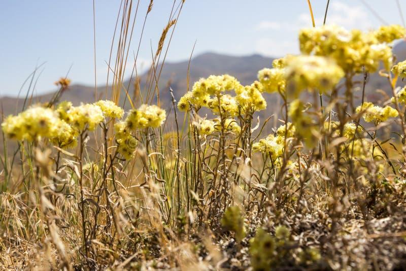 Gula blommor av helichrysumarenariumen eller dvärg- everlast arkivbild