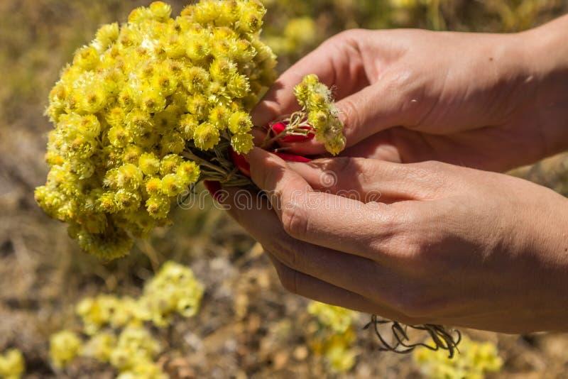 Gula blommor av helichrysumarenariumen eller dvärg- everlast royaltyfri fotografi