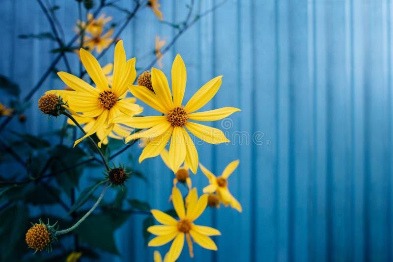Gula blommor av Jerusalem kronärtskockaväxter, sikt av solrosen, på en blå bakgrund med band Det finns ett st?lle f?r text royaltyfri bild
