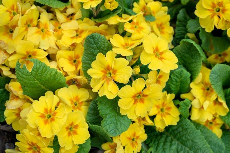 Gula blommor av primulav?xter som blommar i en hem- tr?dg?rd som en bakgrund, v?r i det Stillahavs- nordv?stligt fotografering för bildbyråer