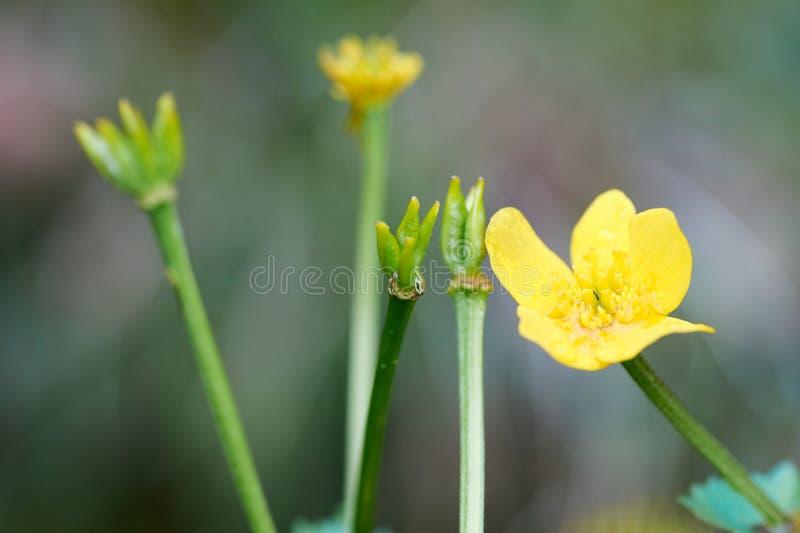 Gula blommor av Ranunculusacrisen på bakgrund för grönt gräs Makro royaltyfri bild