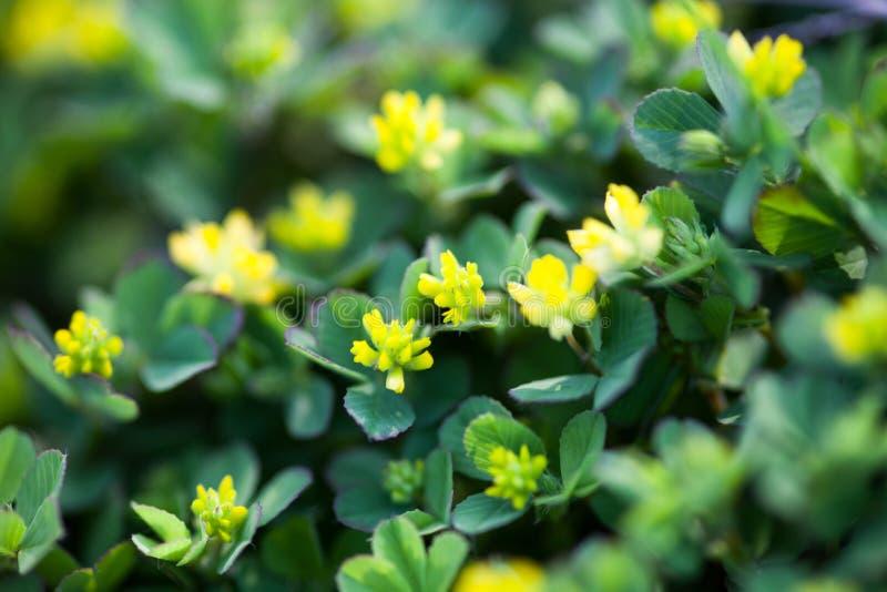 Gula blommor av växten av släktet Trifolium royaltyfri foto