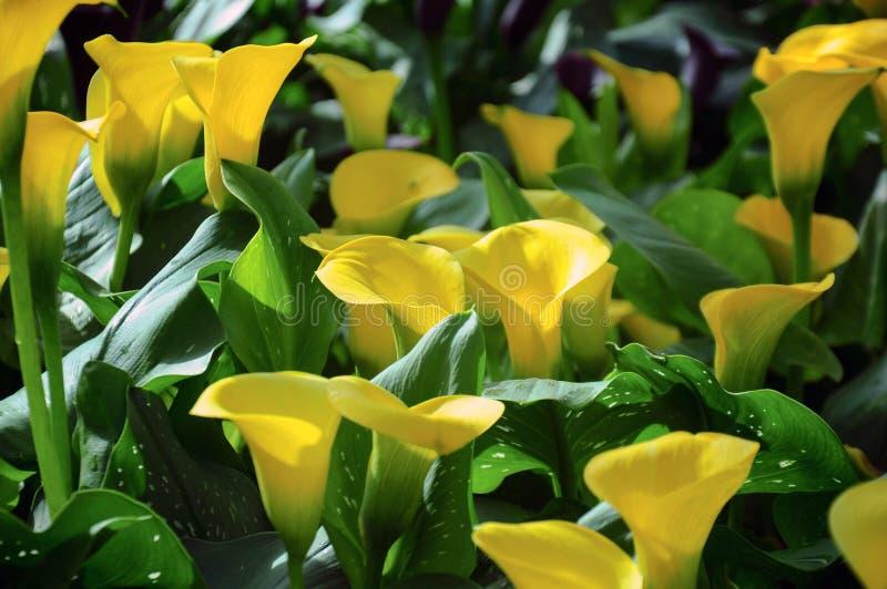 Gula blommor för callalilja i trädgården fotografering för bildbyråer
