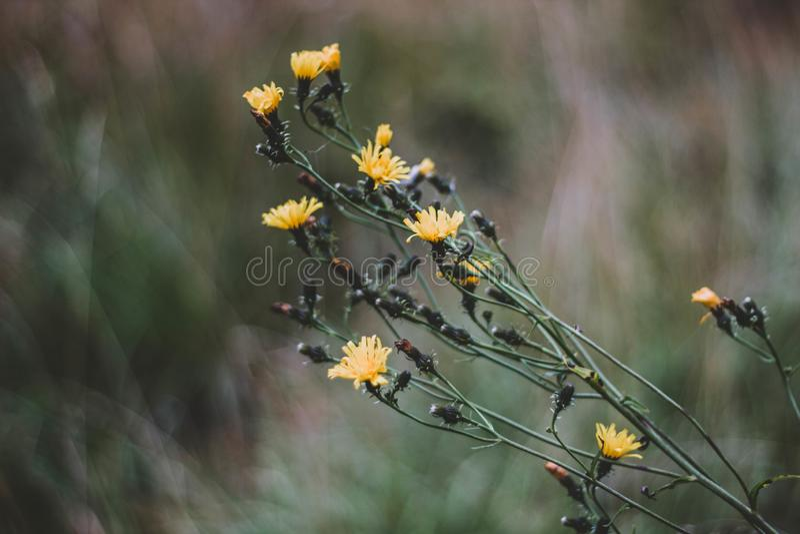 Gula blommor för liten buske i höst close upp Härliga gula blommor på en suddig bakgrund fotografering för bildbyråer