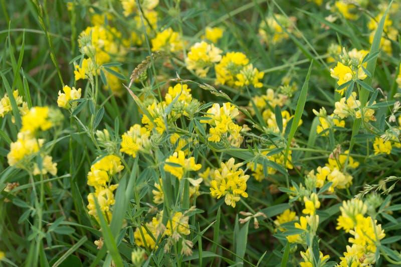 Gula blommor för Medicagofalcata arkivbild
