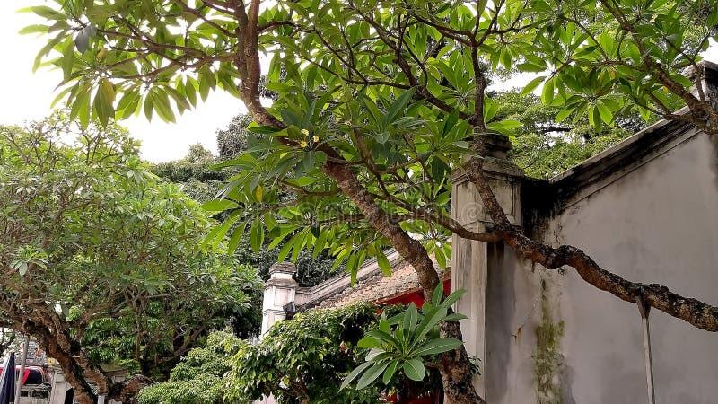 Gula blommor för Plumeriaträd på tegelplattataket av templet arkivbilder