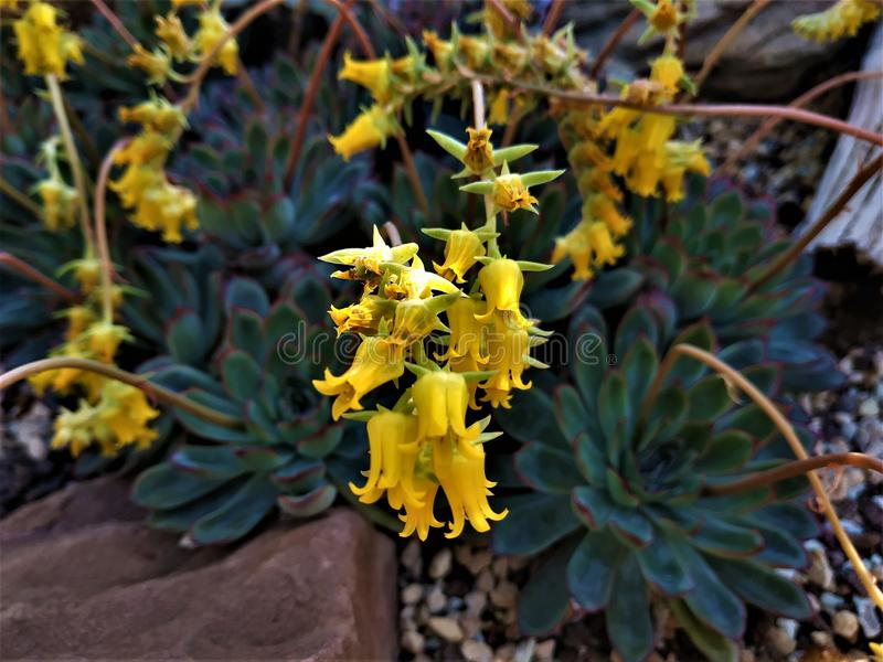 Gula blommor från en Echeveria pulidonis-planta arkivfoton