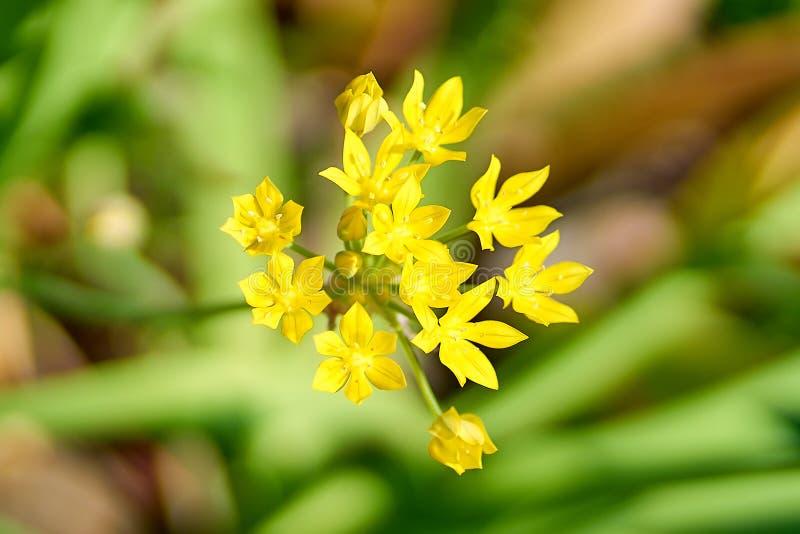 Gula blommor i blomningen, slut upp fotografering för bildbyråer