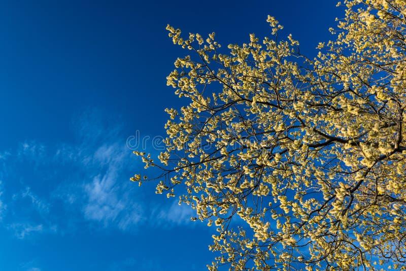 Gula blommor i den blåa himlen för vårbakgrund royaltyfri bild