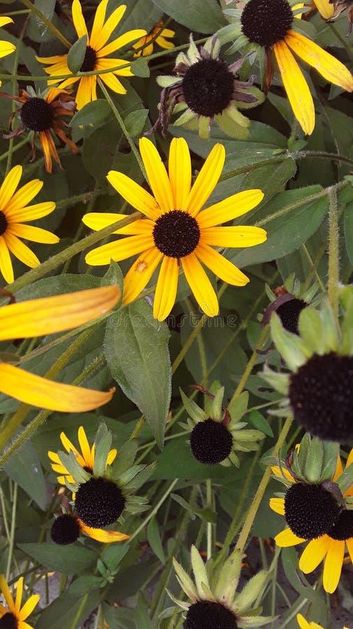 Gula blommor i höften arkivfoto