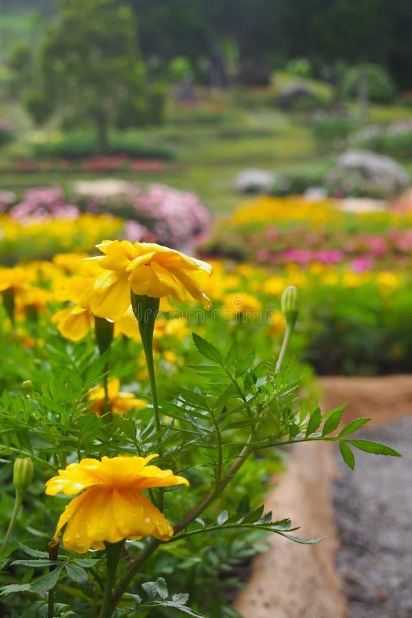 Gula blommor med en droppe av vatten i en blommaträdgård, på en färgrik bakgrund för blommaträdgård fotografering för bildbyråer