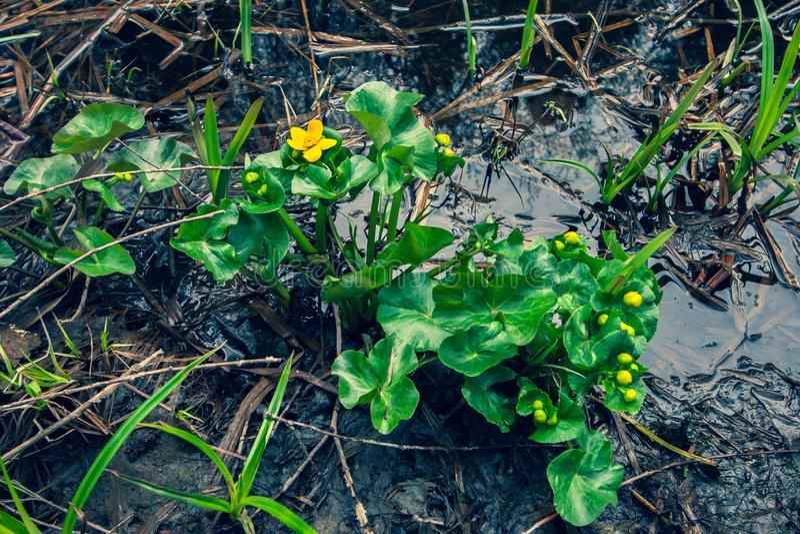 Gula blommor med gröna stora sidor växer på sank jord med gyttja och vatten arkivbild