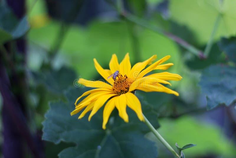 gula blommor som tusenskönor med krypet på en grön suddig bakgrund Slut upp Doronicumblomningväxter arkivbild