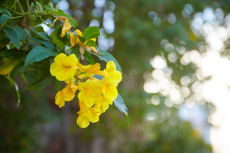 Gula blommor, Tecoma stans, gul klocka, trumpetvinranka som blommar i en trädgård, i mjuk suddig stil, royaltyfria bilder