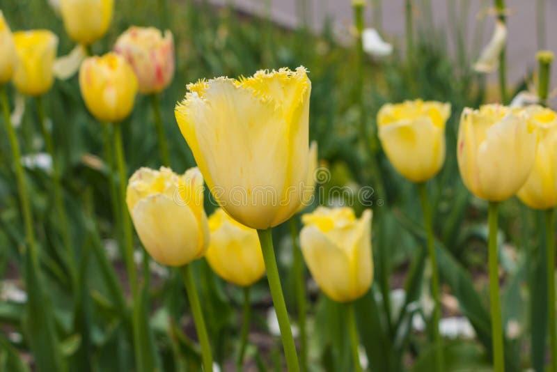Gula blomstra tulpan i trädgården royaltyfria bilder