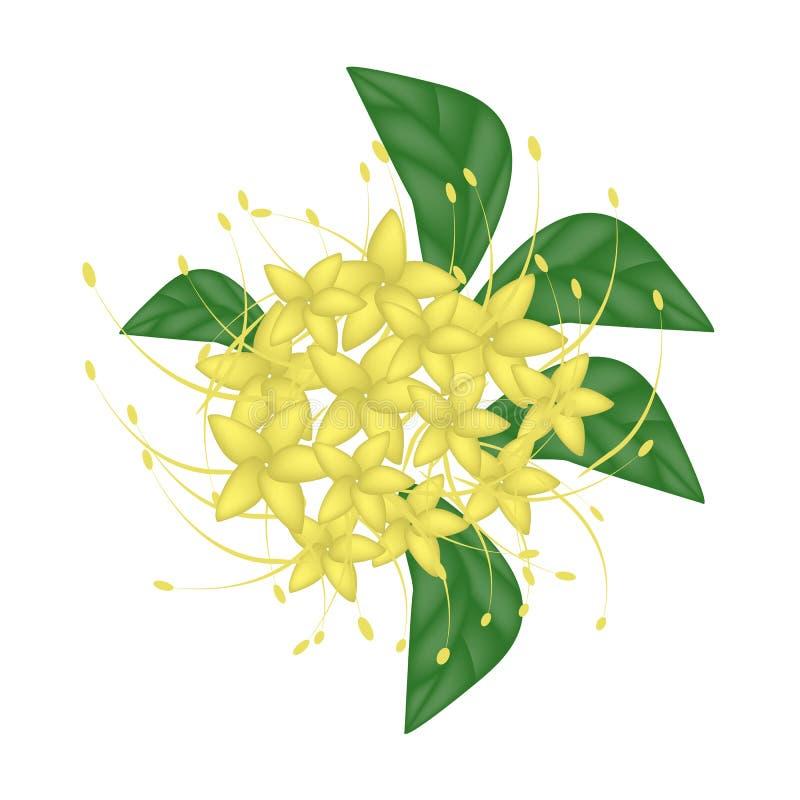 Gula Bush Willow Flower eller Combretum Erythrophyllum blomma vektor illustrationer