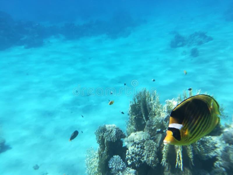 Gula butterflyfish fotografering för bildbyråer