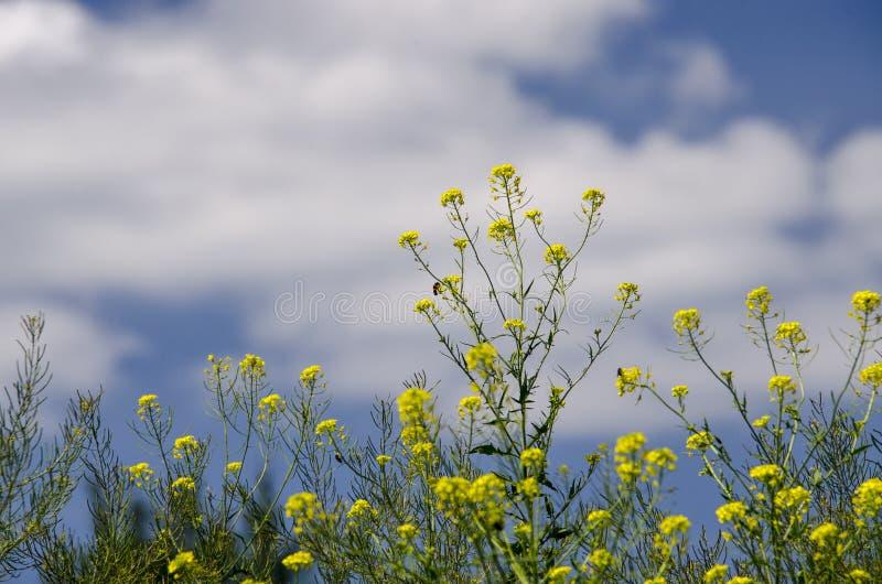 Gula canolablommor växer i ett fält mot den blåa himlen fotografering för bildbyråer