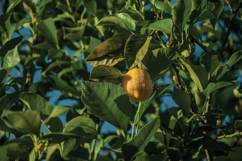 Gula citroner i en liten lantgård royaltyfri fotografi