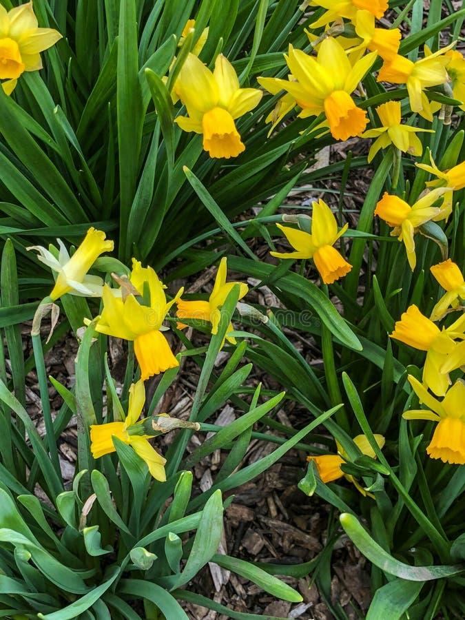 Gula dagliljor i blommaträdgård royaltyfri foto