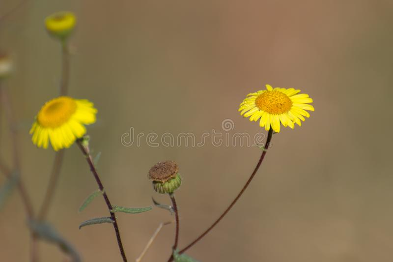 Gula enkla Daisy Flowers i skog arkivbild