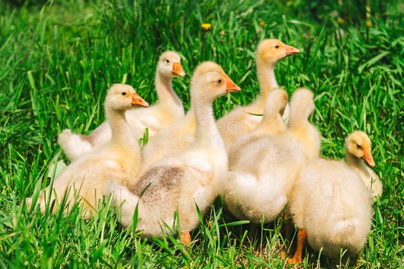 Gula fågelungar som betar i en äng royaltyfri foto
