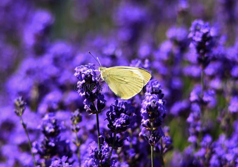 Gula fjärilsPierisrapae på lavendelblommor arkivbilder