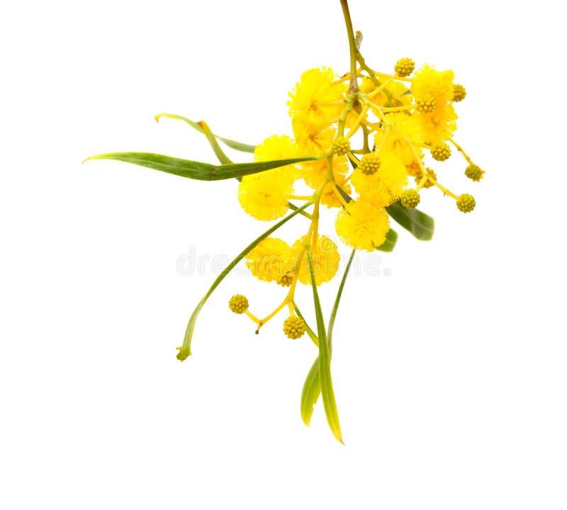 Gula fluffiga blommor på akacia arkivbild