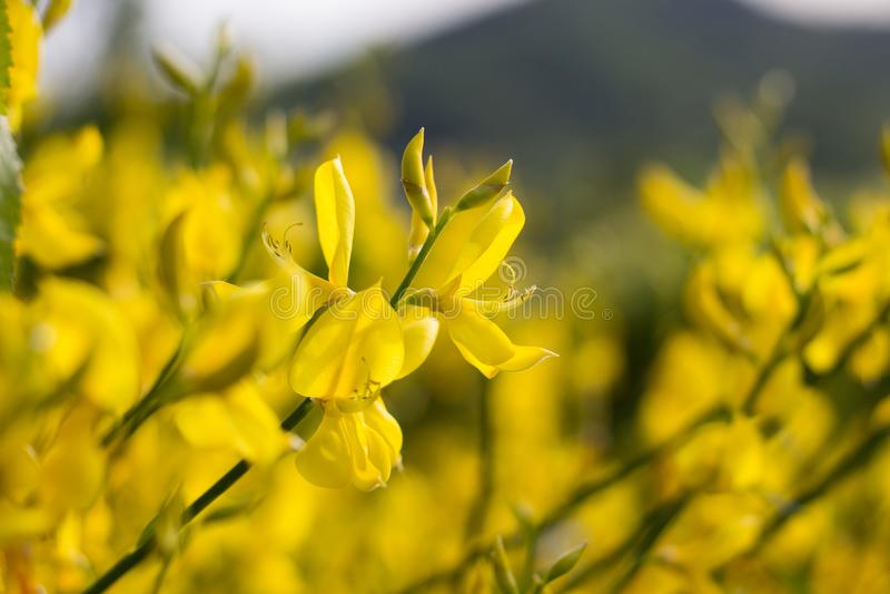 Gula Genisteae blommar på solnedgång arkivbilder