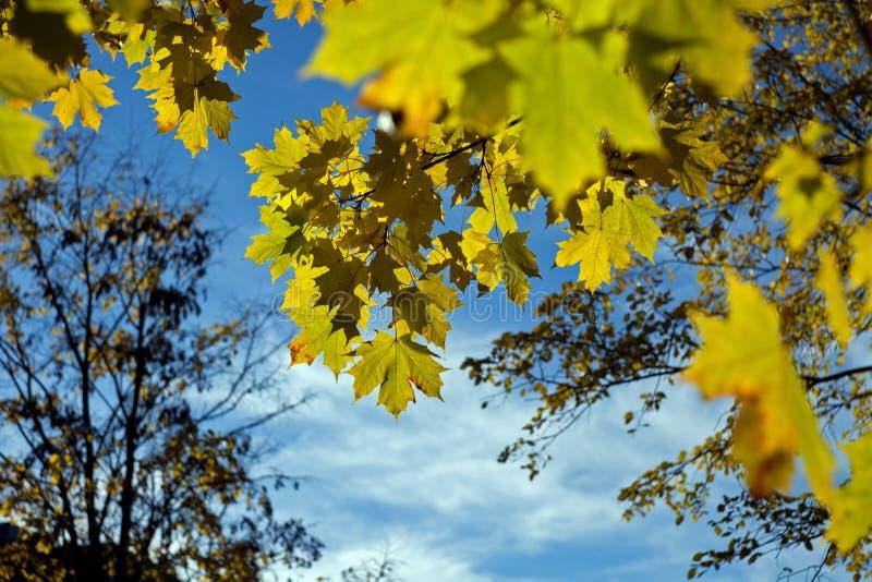 Gula höstlönnlöv på en trädfilial mot den blåa himlen royaltyfri foto