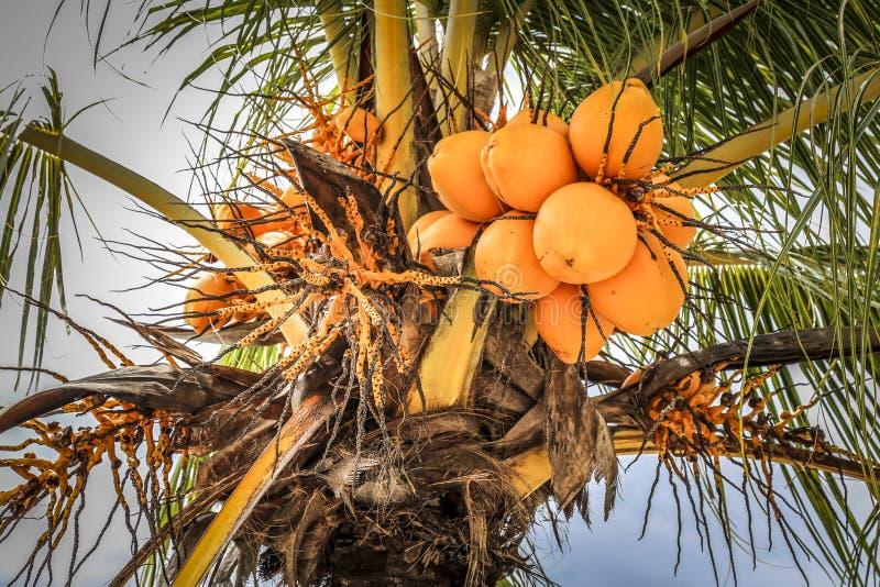 Gula kokosnötter i palmträd royaltyfria bilder