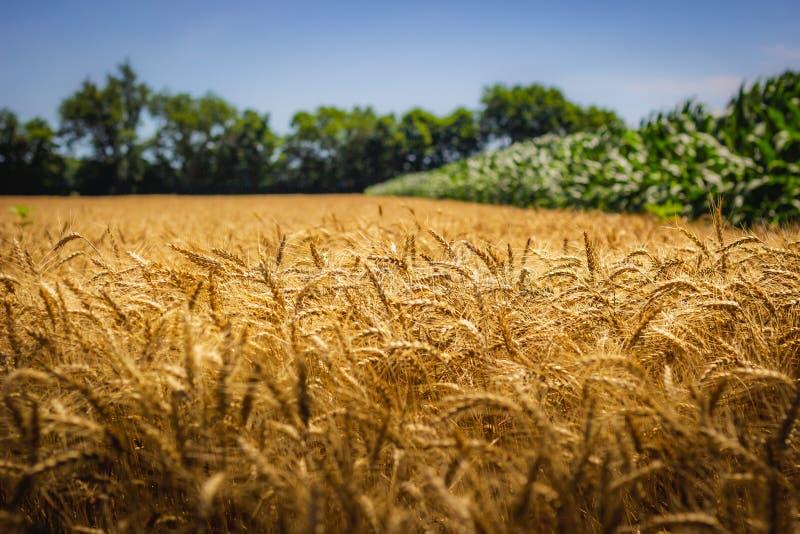 gula kornwaves arkivfoto