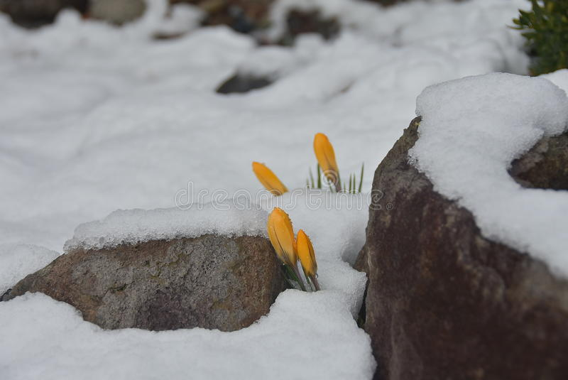 Gula krokusar under snön arkivbilder
