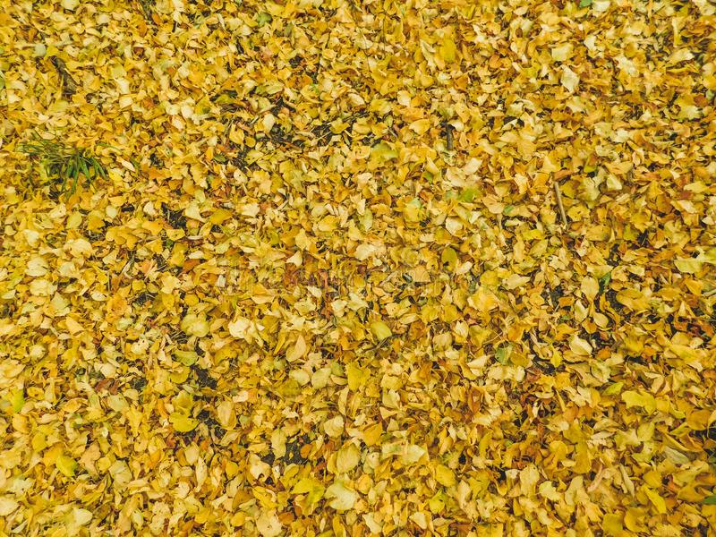 Gula leafes som avverkar från träd på jordning arkivbild